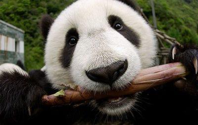 De pandabeer