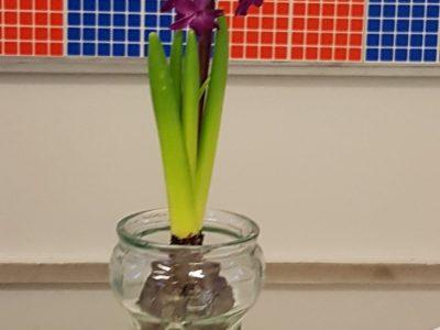 Onze groene vingers: we volgden de groei van een hyacint